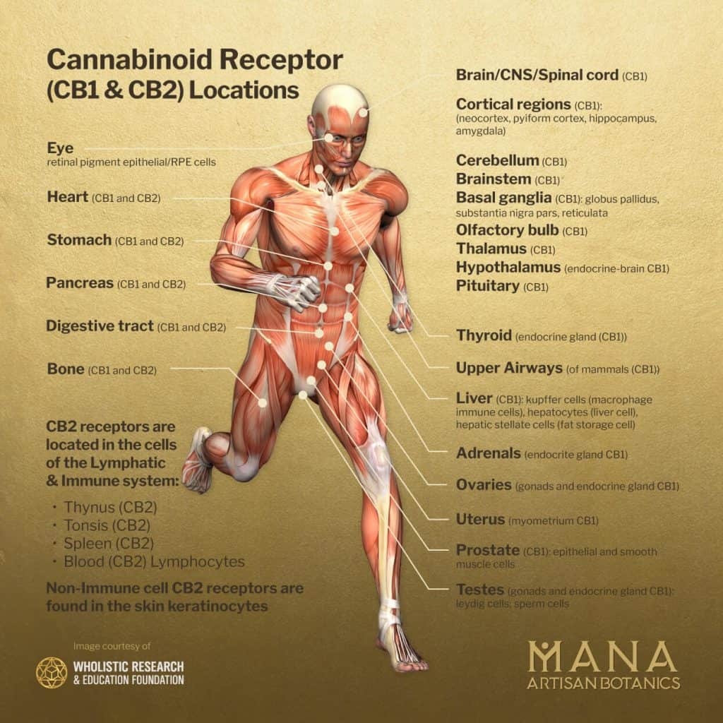 what does the endocannabinoid system do